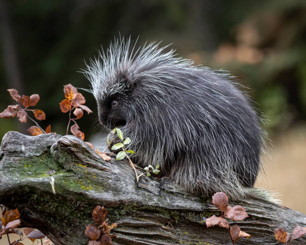 Porcupine in Autumn colors in Montana USA stock photo