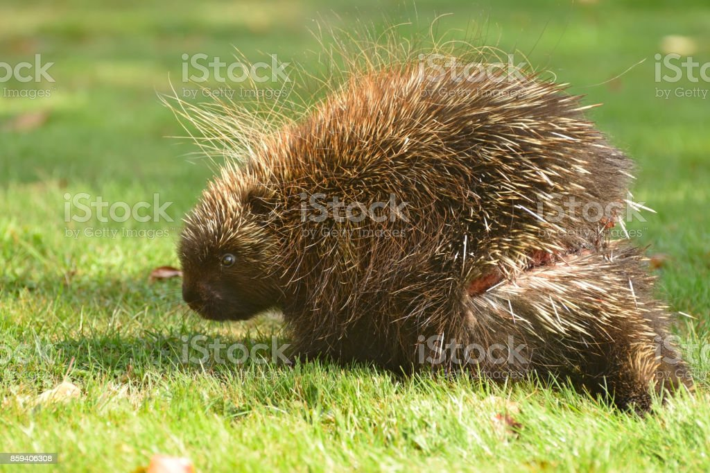 Porcupine Injury Close Up (Canada) stock photo