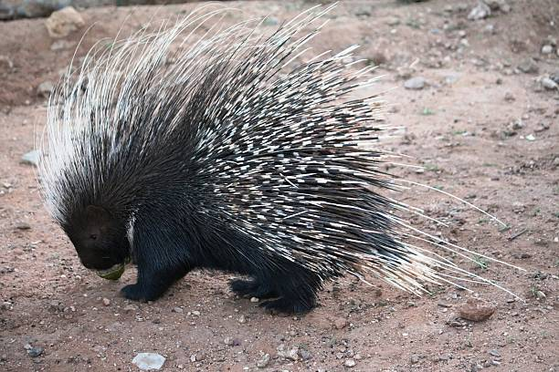 100 African Porcupine Stock Photos, Pictures & Royalty-Free Images - iStock