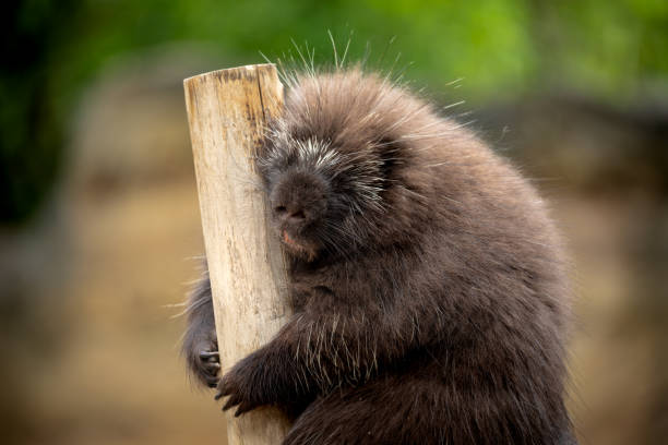 Porcupine leaning to wooden pole sleeping stock photo