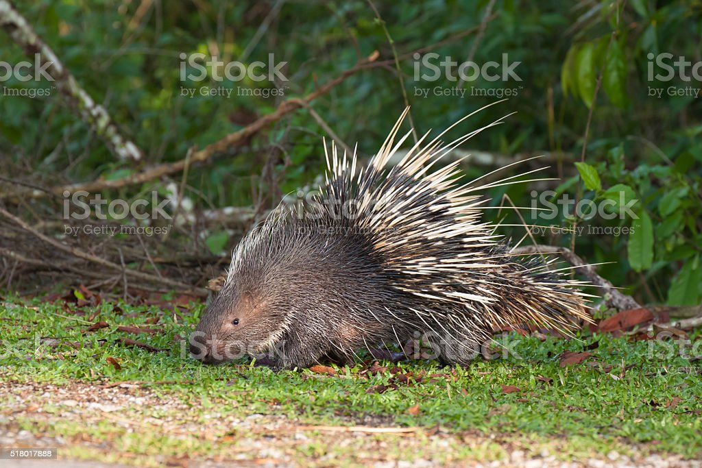 Porcupine on the grass stock photo