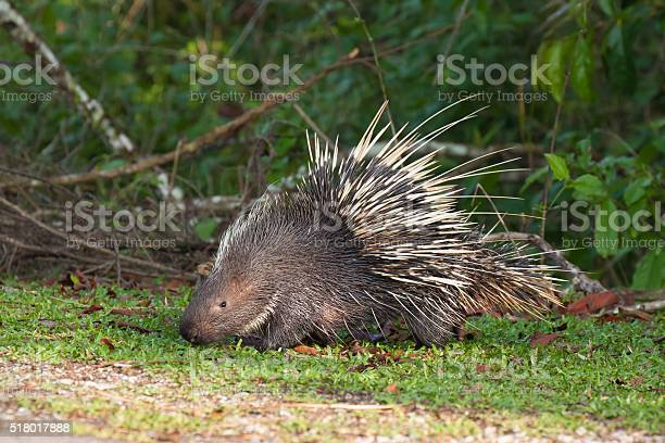 Photo of Porcupine on the grass