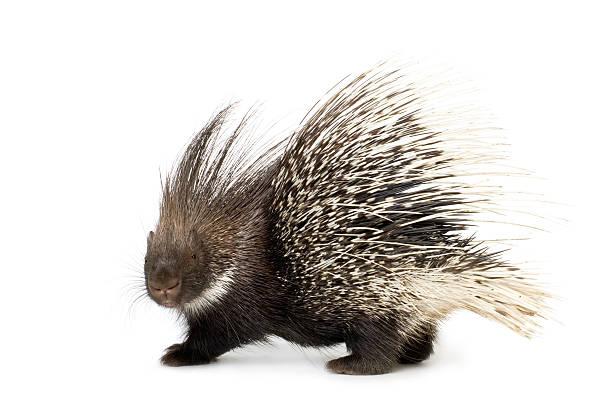 porcupine - stekels stockfoto's en -beelden