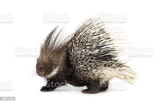 Photo of porcupine