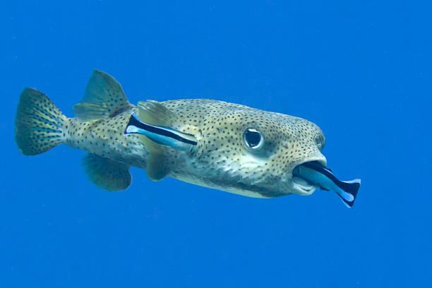 Schweinepufferfisch (Diodon Hystrix), der von saubereren Fischen gereinigt wird (labroides dimidiatus) – Foto