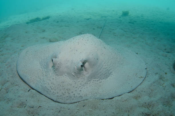 Porcupine Ray, Heron Island, Great Barrier Reef, Australia