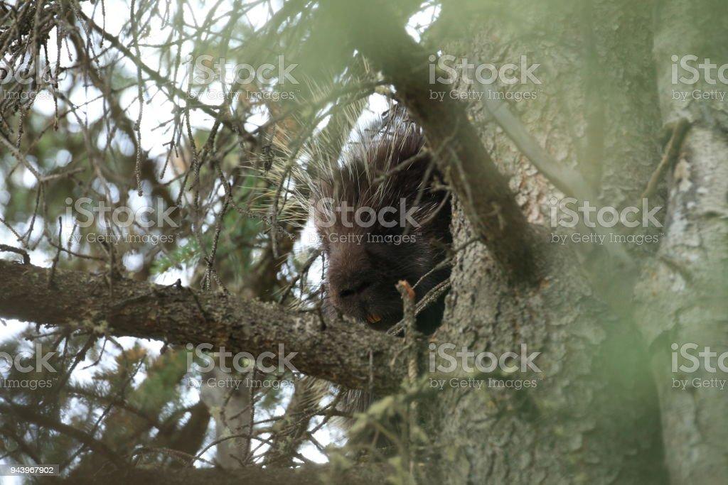 Porcupine sitting in forest Alaska
