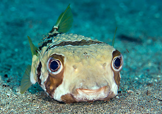 Porcupinefish Close-up of a Long-spine porcupinefish (Diodon holocanthus) , blowfish on the ocean bed, is able to inflate itself as a defence machanism against predators,    manado stock pictures, royalty-free photos & images