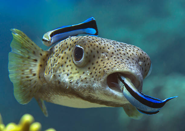 Porcupinefish,  puffer fish, bluestreak cleaner wrasse Closeup of a pufferfish (diodon hystrix) being cleaned by cleaner fish (labroides dimidiatus) at cleaning station. Bunaken Island, Indonesia manado stock pictures, royalty-free photos & images