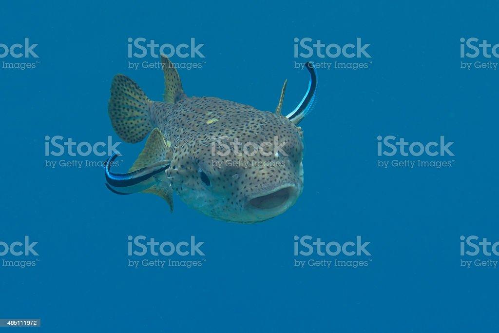 Porcupine Pufferfish (Diodon hystrix), Cleanerfish (Labroides dimidiatus) - Lizenzfrei 2015 Stock-Foto