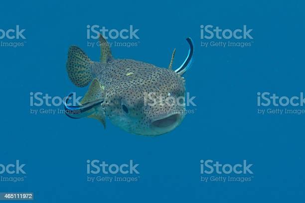 Porcupine Pufferfish Stockfoto und mehr Bilder von 2015