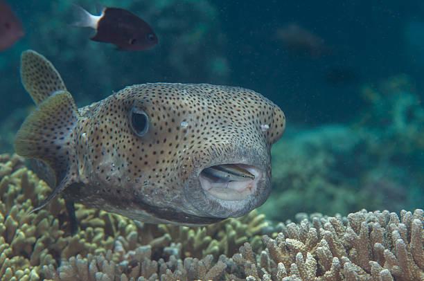 Porcupine Pufferfish (Diodon hystrix), Cleanerfish (Labroides dimidiatus) – Foto