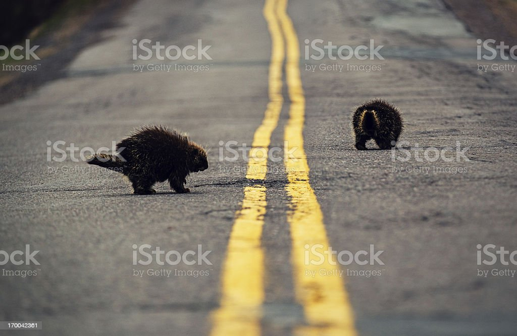 Porcupines on the Road stock photo