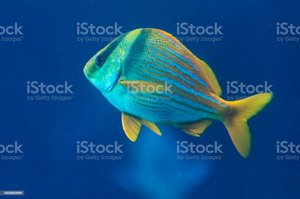 A porkfish grunt swimming by itself, as seen in the Bahamas. stock photo
