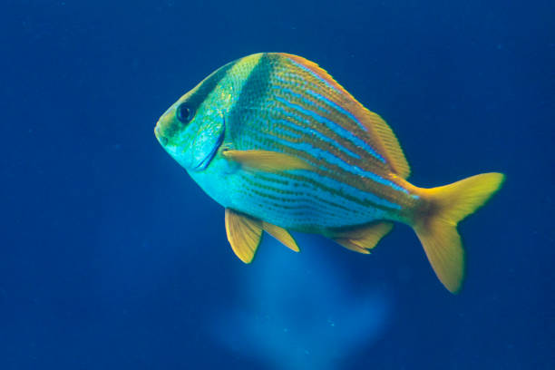 a porkfish grunt swimming by itself, as seen in the bahamas. - one animal stock photos and pictures