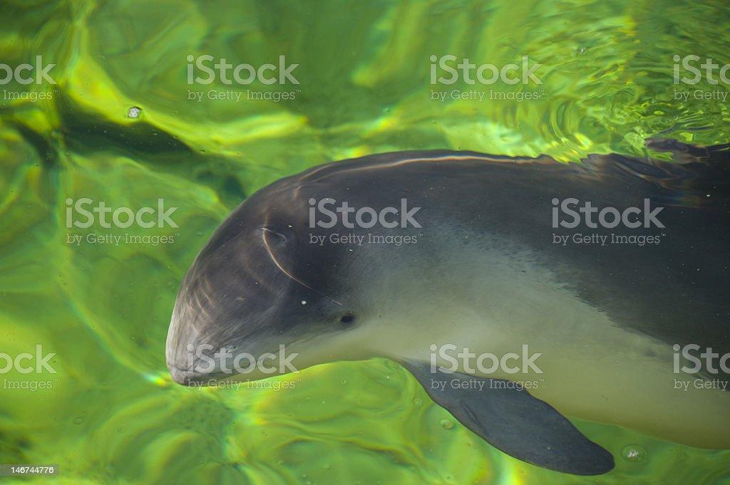 Porpoise - Royalty-free Animal Stock Photo