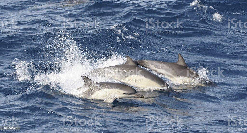 Porpoising Common Dolphins stock photo