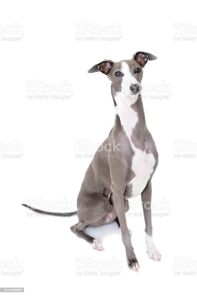 Porrait of a greyhound stock photo