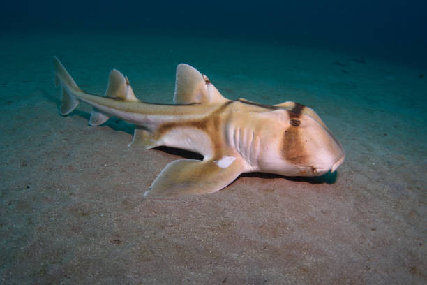 Port Jackson Shark, New South Wales, Australia.