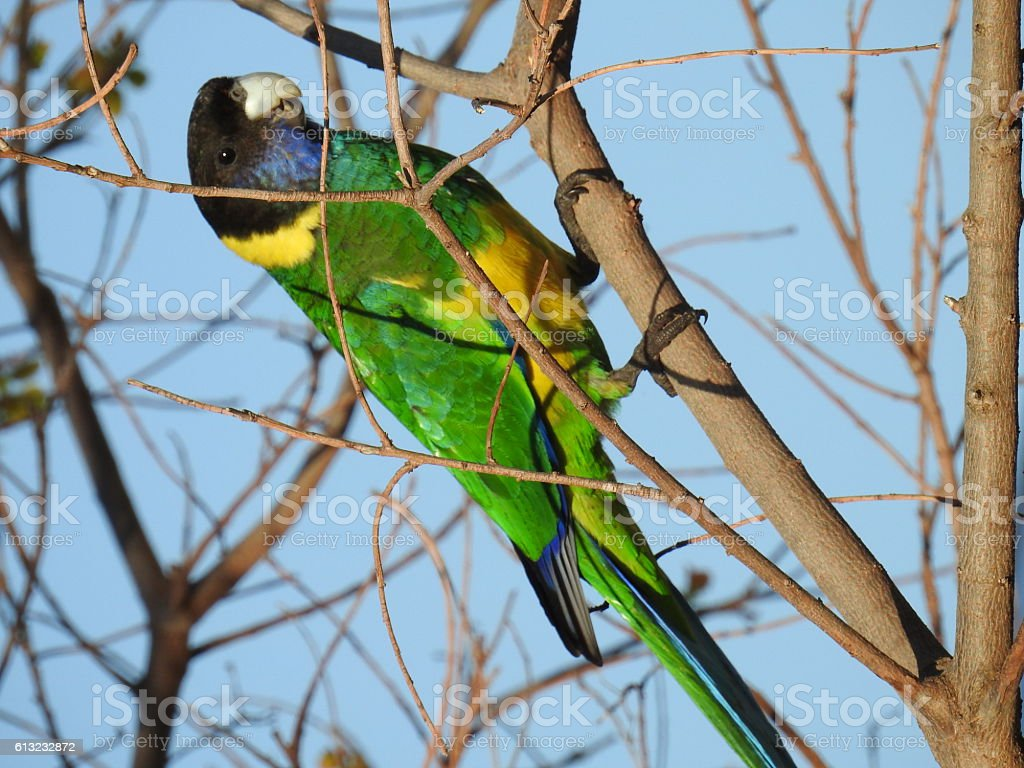 Port Lincoln Parrot stock photo