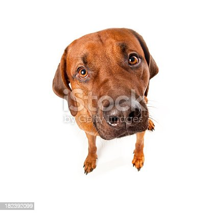 Portait of a Rhodesian Ridgeback