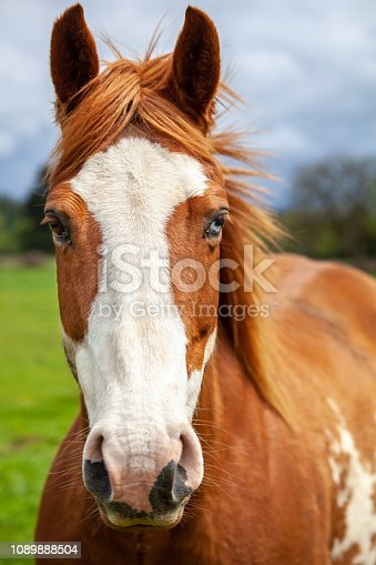 Portait of overo patterned horse that is brown and white with two colored eyes one brown and one blue