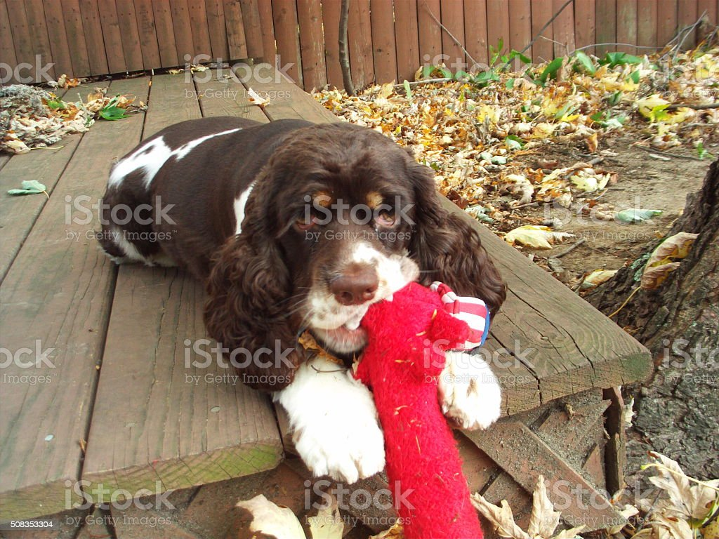 Porti Brown & White American Cocker Spaniel Puppy Dog stock photo