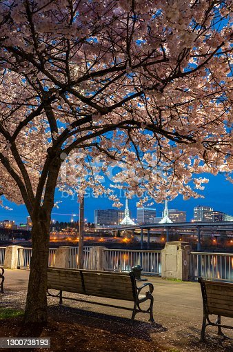 Cherry trees blooming on the waterfront in Portland, Oregon.