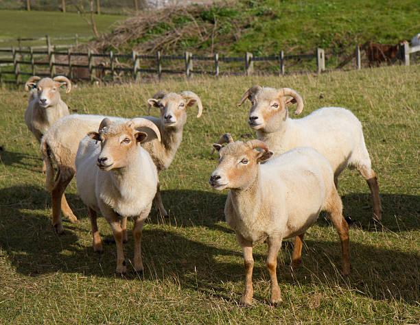Portland sheep a rare breed from Dorset, England stock photo