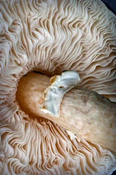 Portobello paddestoel zoals gezien van onder foto