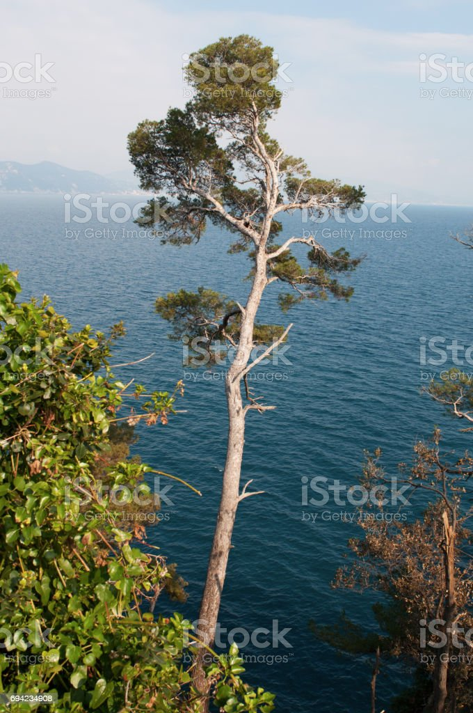 Portofino: the maritime pine or cluster pine, a pine native to Mediterranean region and Mediterranean climate, seen on the walking trail on the cliff from the lighthouse to Portofino stock photo