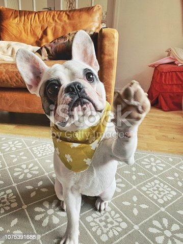 Cute French Bulldog puppy with her bandana giving high five