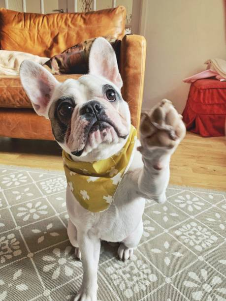 PortraFrench Bulldog puppy in yellow bandana giving high five Cute French Bulldog puppy with her bandana giving high five dog paws stock pictures, royalty-free photos & images
