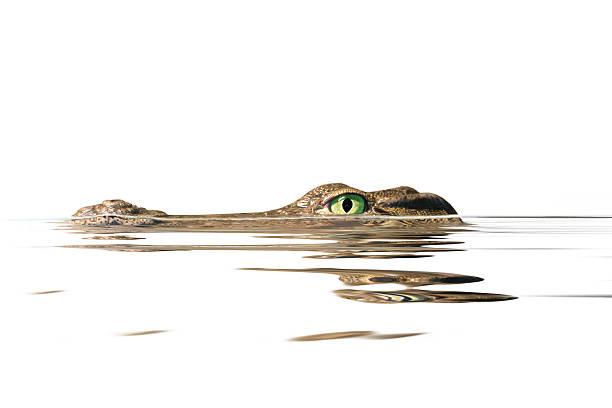 portrait alligator stock photo