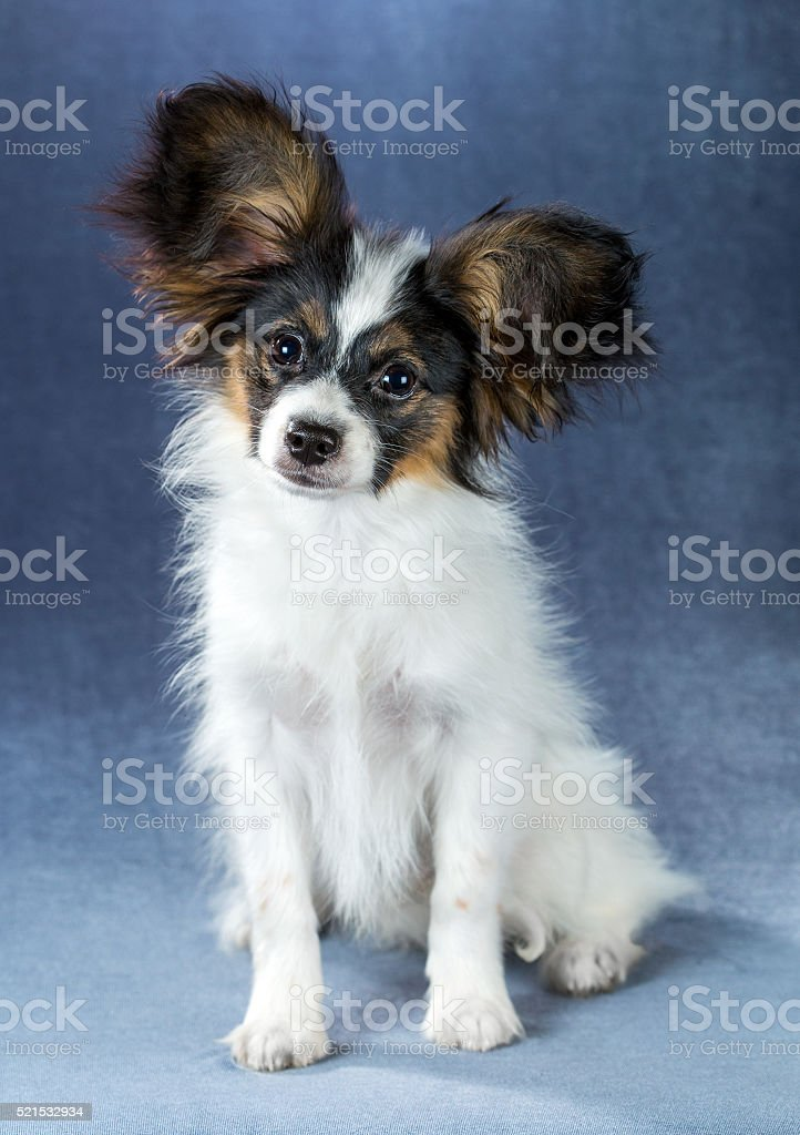 子犬 パピヨン