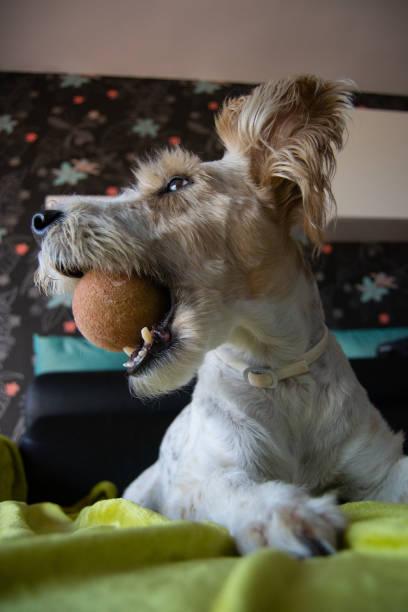porträt und abschweifung eines hundes - sealyham terrier stock-fotos und bilder