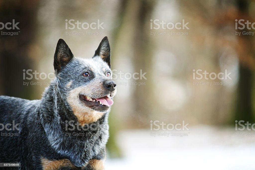 Portret piękne zabawny Australijski pies pasterski puppy w śniegu tło – zdjęcie