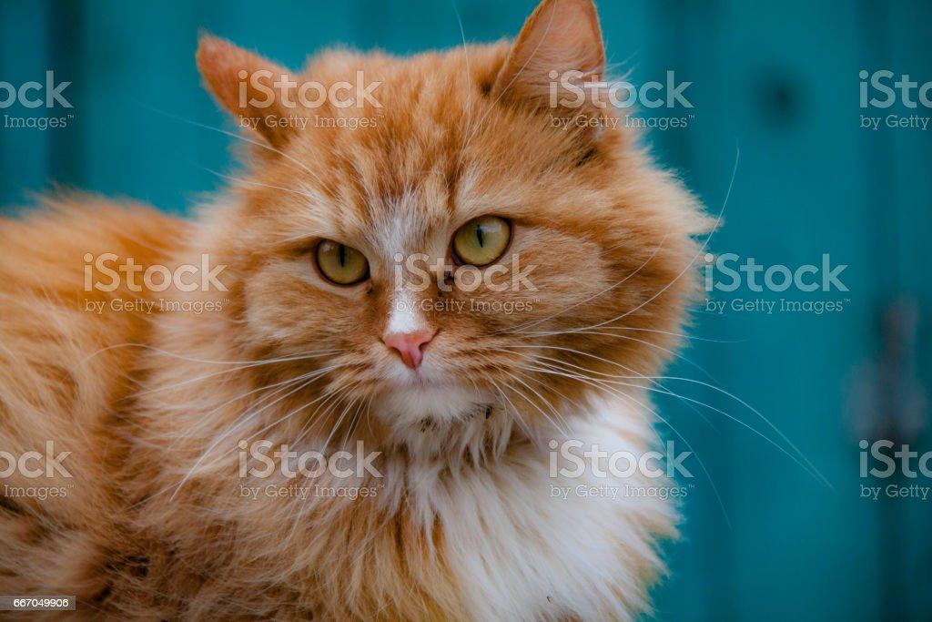 Portrait beautiful Red cat in Krutitsi stock photo