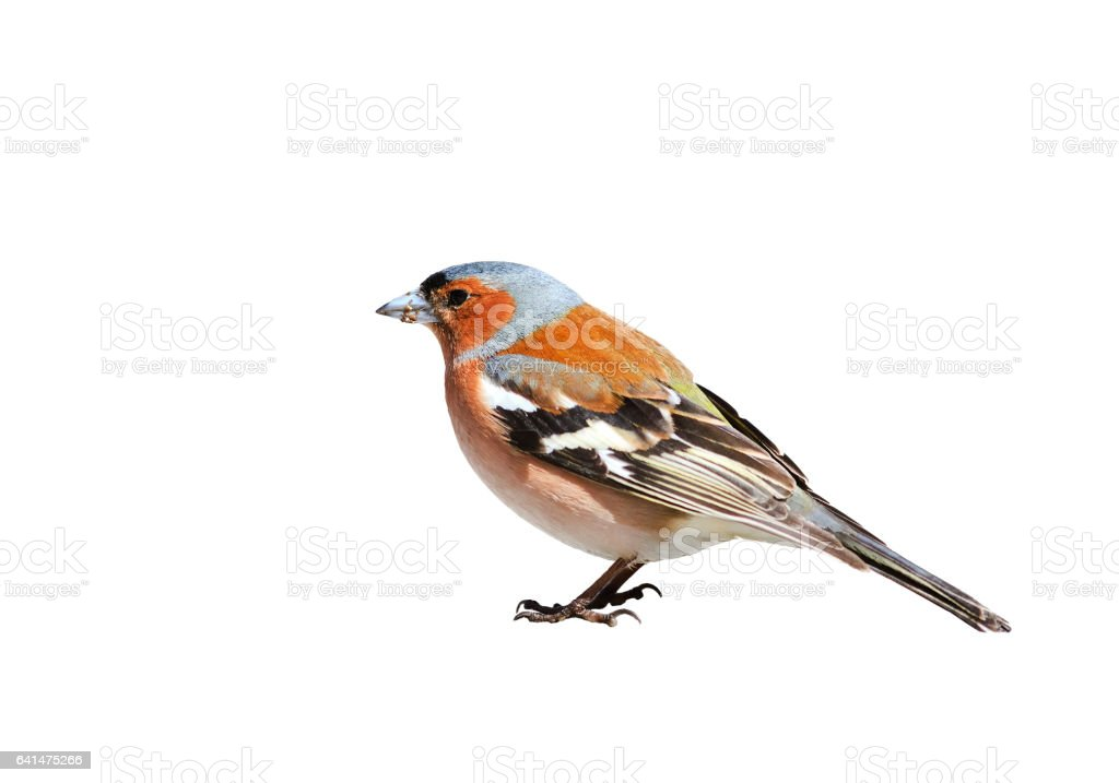 portrait birds Chaffinch on a white isolated stock photo