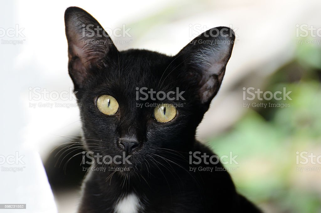 Portrait black cat outdoor. foto royalty-free