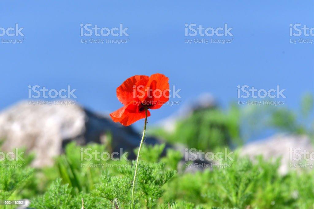 coquelicot fleur bleu portrait sur fond d'herbe et ciel - Photo de Arbre en fleurs libre de droits