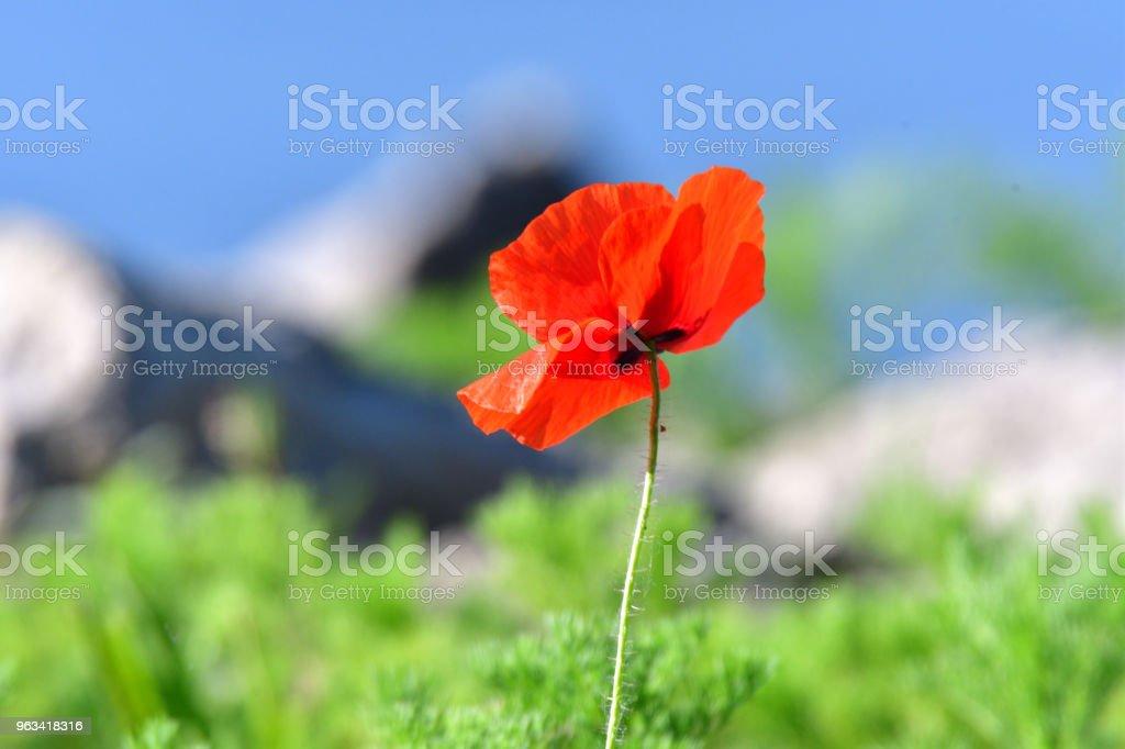 portrait blossom blue poppy with background of grass and sky - Zbiór zdjęć royalty-free (Bez ludzi)