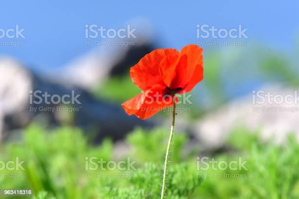 Portret Kwiat Niebieski Mak Z Tłem Trawy I Nieba - zdjęcia stockowe i więcej obrazów Bez ludzi