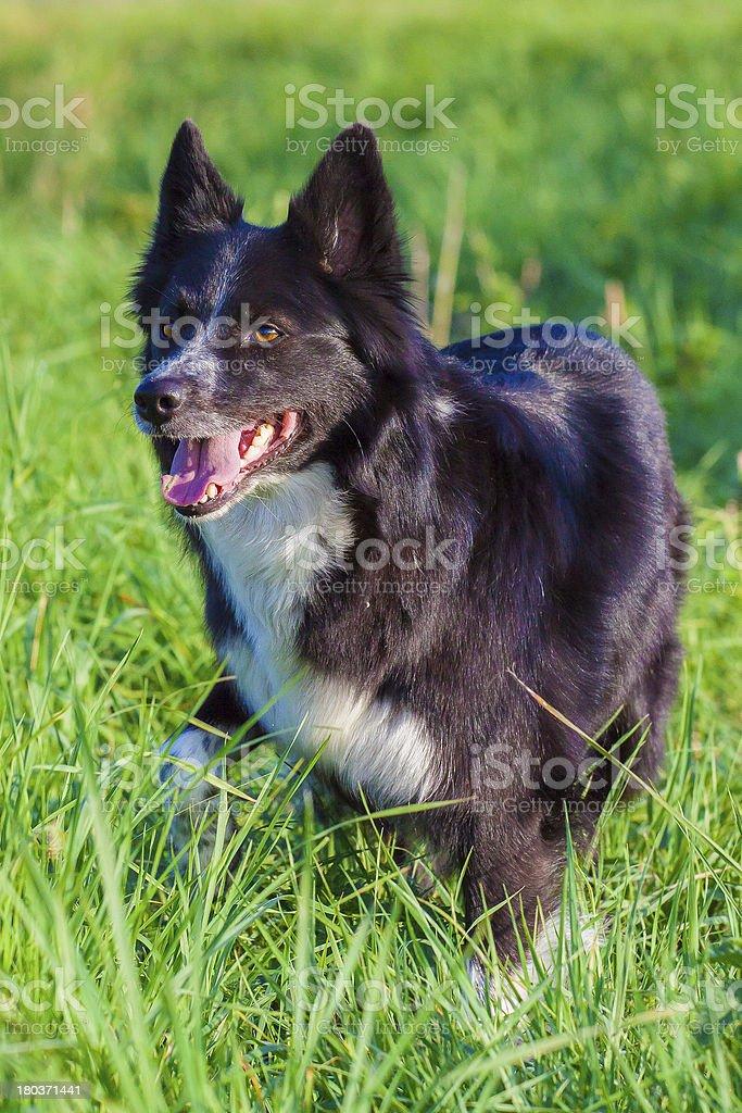 Portrait Boarder Collie stock photo