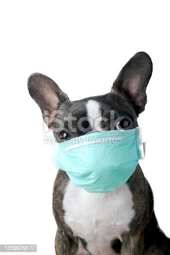 Closeup portrait of beautiful boston terrier pure breed blankspace, copyspace with green medical mask