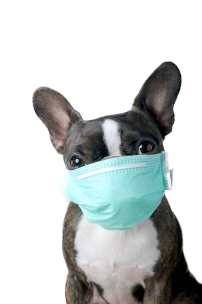 Portrait boston terrier with medical mask pure breed white background picture id1209679177?b=1&k=6&m=1209679177&s=612x612&w=0&h=tn5ddy lacirkrxmfk12bdqoefl0jfjihttrc9jfwye=