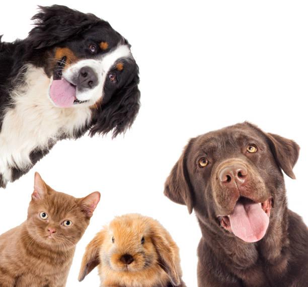 Porträt braune Labrador Hund und eine Katze und Kaninchen – Foto