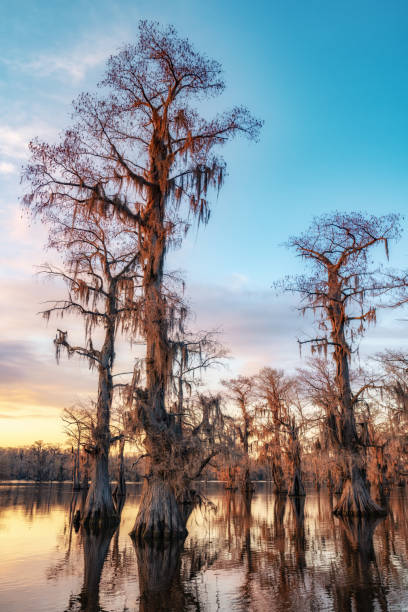 portret caddo lake sunset - bald cypress tree stockfoto's en -beelden