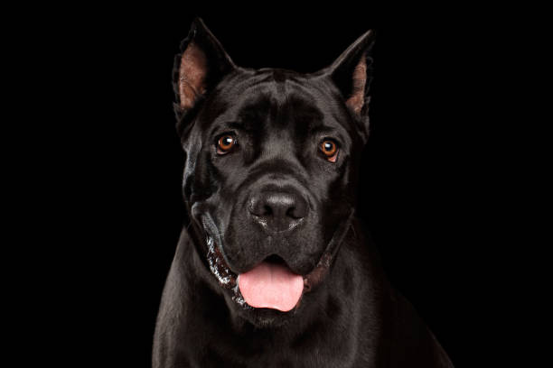 Portrait Cane Corso Dog on Black Closeup portrait of beautiful black Cane Corso dog. Studio shot on Isolated black background cane corso stock pictures, royalty-free photos & images