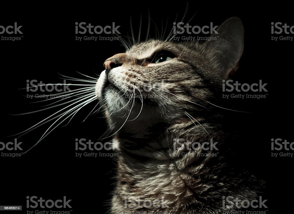 Portrait cat royalty-free stock photo